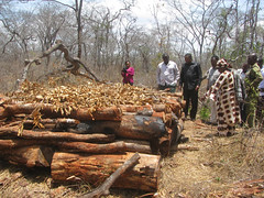 Joel Bendera (in black shirt), the district commissioner of Morogoro, a city 169 km west of Dar es Salaam, inspects a pile of abandoned logs. Credit: Muhidin Michuzi/IPS