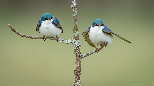 Ed Post - Tree Swallow (Tachycineta bicolor)