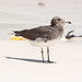 Sooty Gull at al Fizavah S24A8274