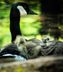 -The Cygnet's Down is Soft -