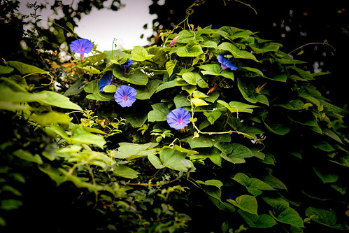 flowers shadow green nature leaves contrast canon eos outdoor foliage bloom lush morningglory vignette ef2470mmf28lusm topaz 6d