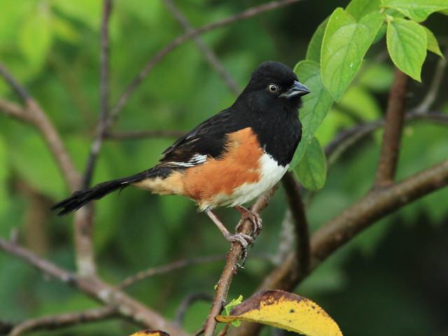 Eastern Towhee male 4-20120222