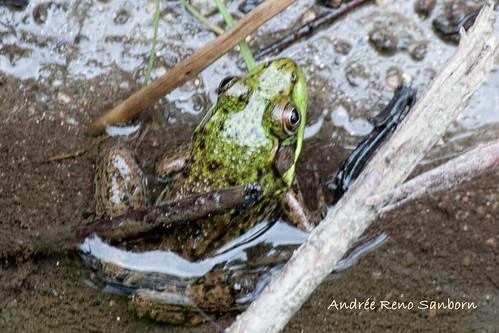 Green Frog  (Rana clamitans melanota)-13.jpg