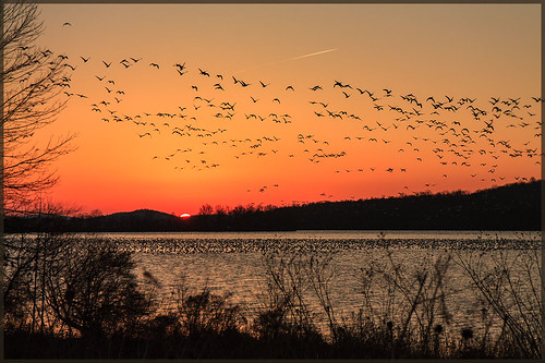 Dawn Patrol  - Snow Geese at Middle Creek