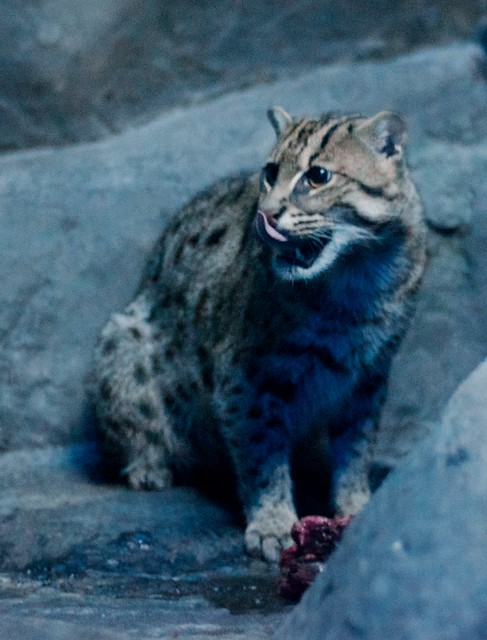 Fishing Cat Breakfast