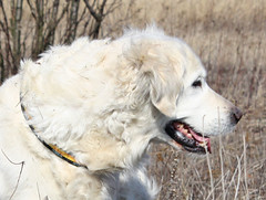 dog breed, animal, dog, pet, maremma sheepdog, mammal, slovak cuvac, golden retriever, great pyrenees,