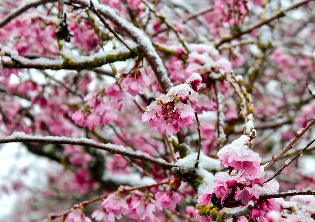 Spring Snow on Cherry Blossoms