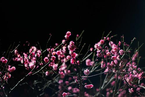 Plum blooms