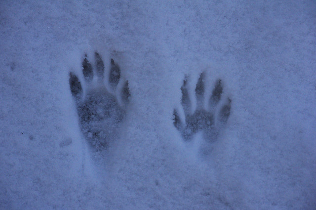 Paw Prints Raccoon