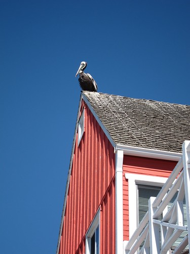Pelican on roof