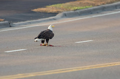Eagle Road Kill Meal-0244.jpg by Mully410 * Images