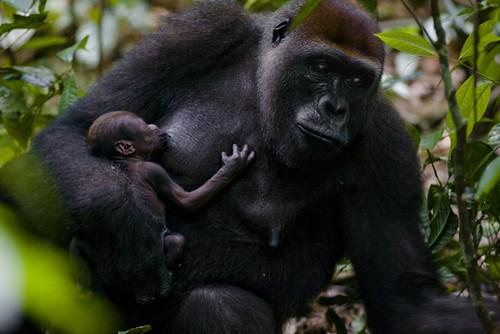 A western lowland gorilla mother breastfeeding her infant. Mondika, Democratic Republic of the Congo. By IAN NICHOLS, National Geographic Stock
