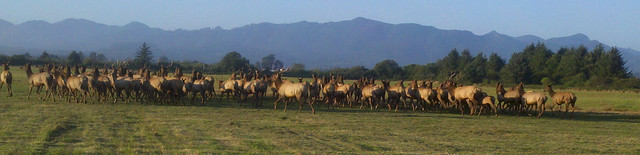 herd of elk in tillamook
