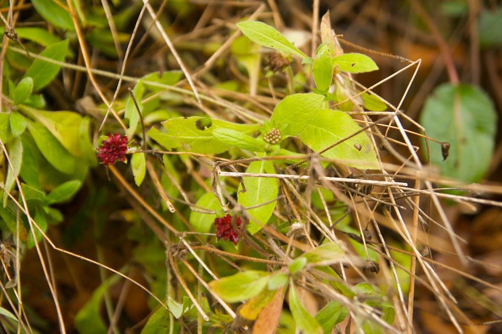 knautia blooms  1241