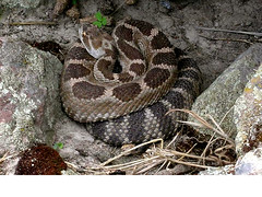 animal, serpent, snake, reptile, hognose snake, fauna, viper, rattlesnake, sidewinder, scaled reptile, wildlife,