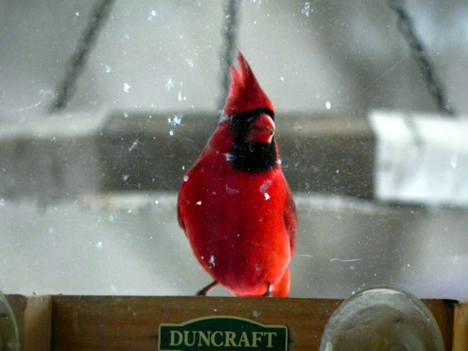 02-13-2012_Cardinal in the snow