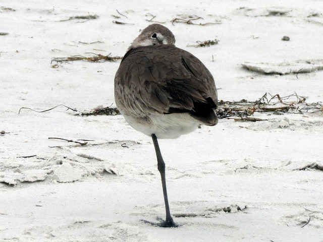 Curious Willet