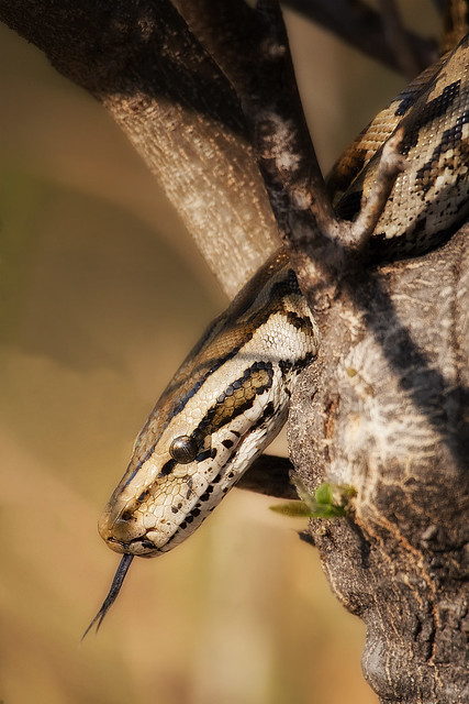Southern African Rock Python...