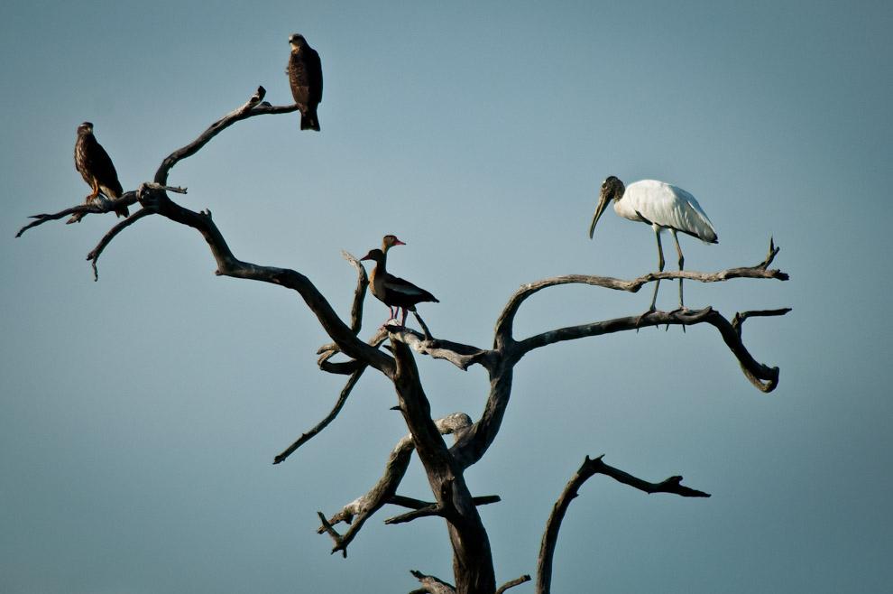 Taguatos, Patos Silbones y una Cigueña de cabeza pelada se agrupan en la copa de un árbol seco durante nuestro paso por la zona. (Elton Núñez)