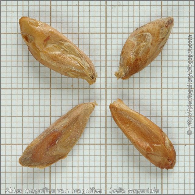 Abies magnifica var. magnifica seeds - Jodła wspaniała nasiona