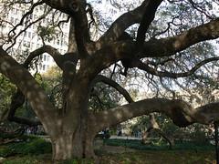 Live oak at the Alamo 2