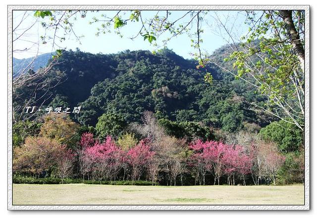 櫻花與草原