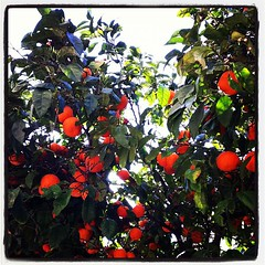 Orange Trees & Sun #Gibraltar