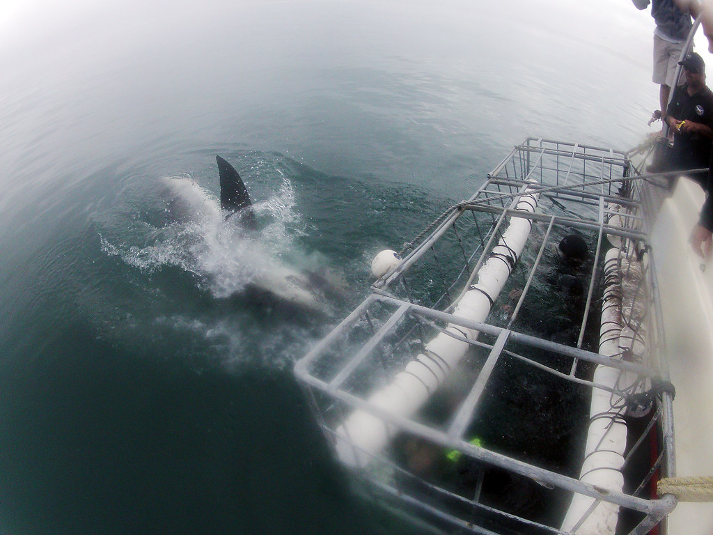 Great white shark cage dive : 3