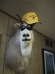 Stylish Goat