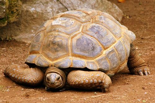 Aldabra Giant Tortoise - Louisville Zoo