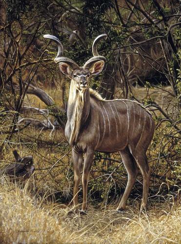 "'Kudu bull' oil on board 16¼"" x 12"