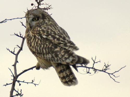 short-eared-owl-07.03.12