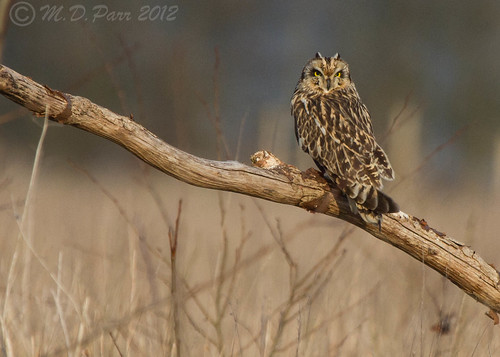 Short-eared Owl (Asio flammeus) set 2 (Explored)