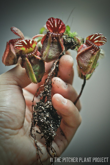 Cephalotus, uprooted