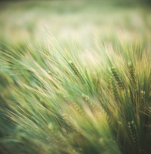 [フリー画像素材] 花・植物, 小麦・コムギ, 緑色・グリーン ID:201203202000
