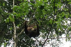 2-toed sloth with baby