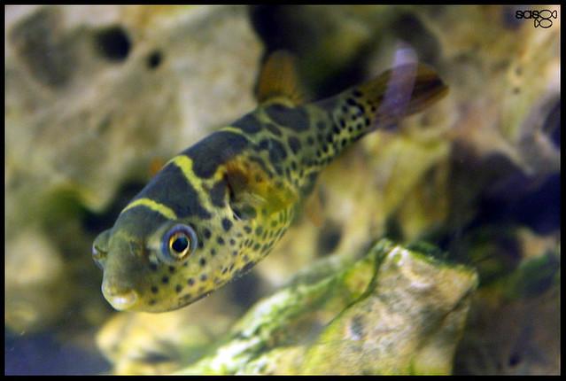Identification tetraodon 7007136610_f4e67f1e70_z_d