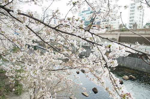 Megurogawa Sakura 05