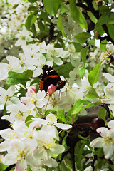 butterfly in blossom 2473