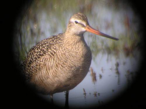 Bar-tailed Godwit, ENP, Flamingo walk-in CG, FL, 042412 (22)