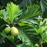 Artocarpus altilis leaf and fruit
