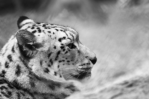 Snow Leopard by Joachim Ziebs