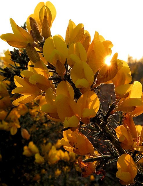 Gorse sunset