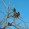 Turkey Vultures (1 of 1)-5