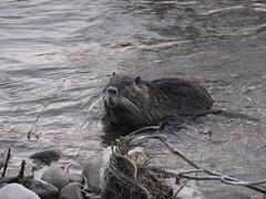 animal, rodent, fauna, muskrat, marmot, beaver, wildlife,