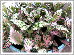 Fittonia albivenis (F. verschaffeltii) [Mosaic Plant, Nerve Plant] with pink, white and green leaves - Oct 16 2013