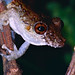 Spix's Snouted Treefrog (Scinax nebulosus) ©berniedup