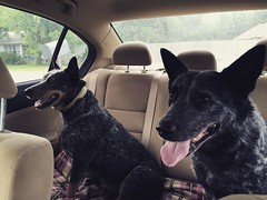 Headed to their mommy in Amarillo.  Out of quarantine......people are not cattle.  😝 . . #blueheelers #dogs #homewardbound #roadtripwithdogs #iphone6 #iphonephotography #njoyphotography