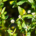 Small photo of Alligator weed