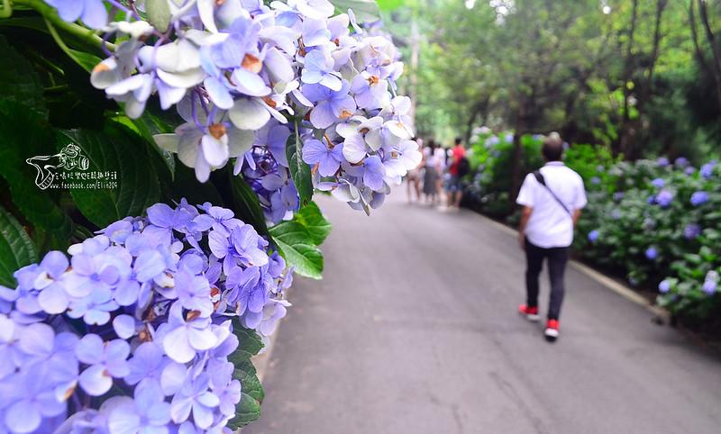 繡球花 (6)